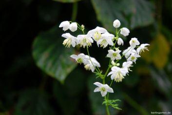 Weiße Wiesenraute