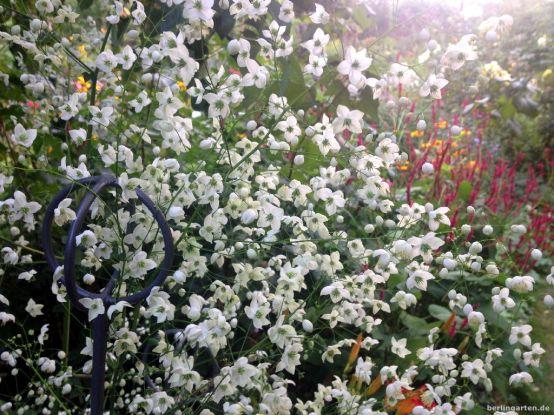 Wiesenraute Thalictrum delavayi Splendide white