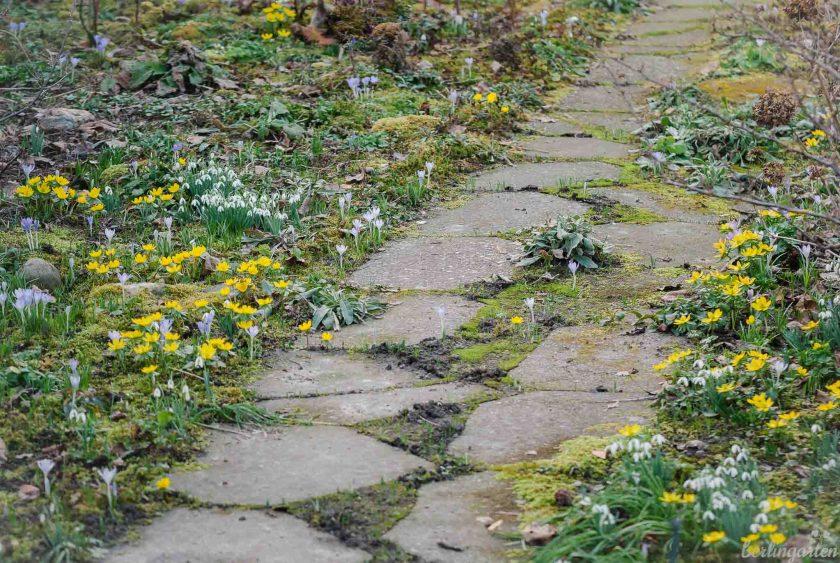 Winterlinge in einem alten Garten, bitte nicht hacken