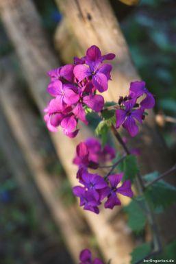 Vagabundiert durch den Garten: Zaungast Lunaria annua