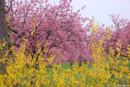 Zeitgleiche Blüte von Forsythie und Zierkirsche