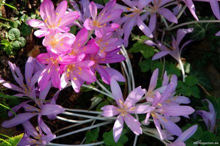 Lilac Wonder (schon etwas umgefallen) und Violet Queen.