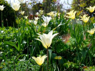 berlingarten ein Meer lilienblütiger Tulpen White Triumphator