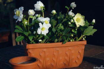 Christrose 'Wintergold' eignet sich sehr gut für die Überwinterung in Töpfen und Kästen. Im Frühjahr zieht sie dann in den Garten um