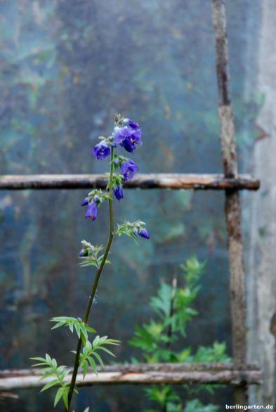 Blaue Blume Jakobsleiter
