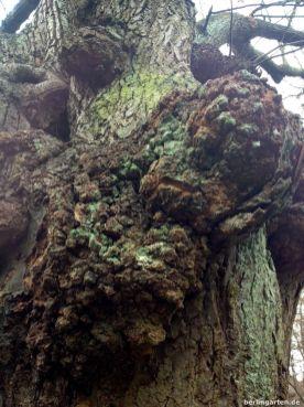 Knorrig alter Baumbestand
