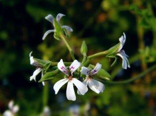 Pelargonium odoratissimum Applemint: Ihr Duft erinnert an grünen Apfel und Minze, wunderbar fruchtig!