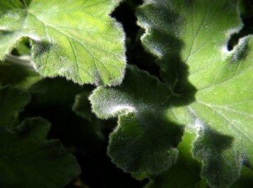 Die Blätter von Pelargonium tomentosum verströmen einen Duft von Pfefferminz