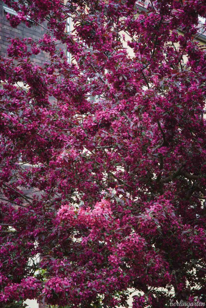 Blütenfülle Zierapfel Dark Rosaleen