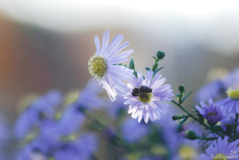 Glattblattaster mit Biene