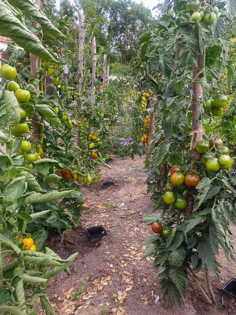 Tomatenreihen