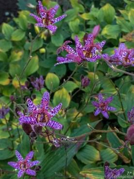 Krötenlilie Tricyrtis hirta