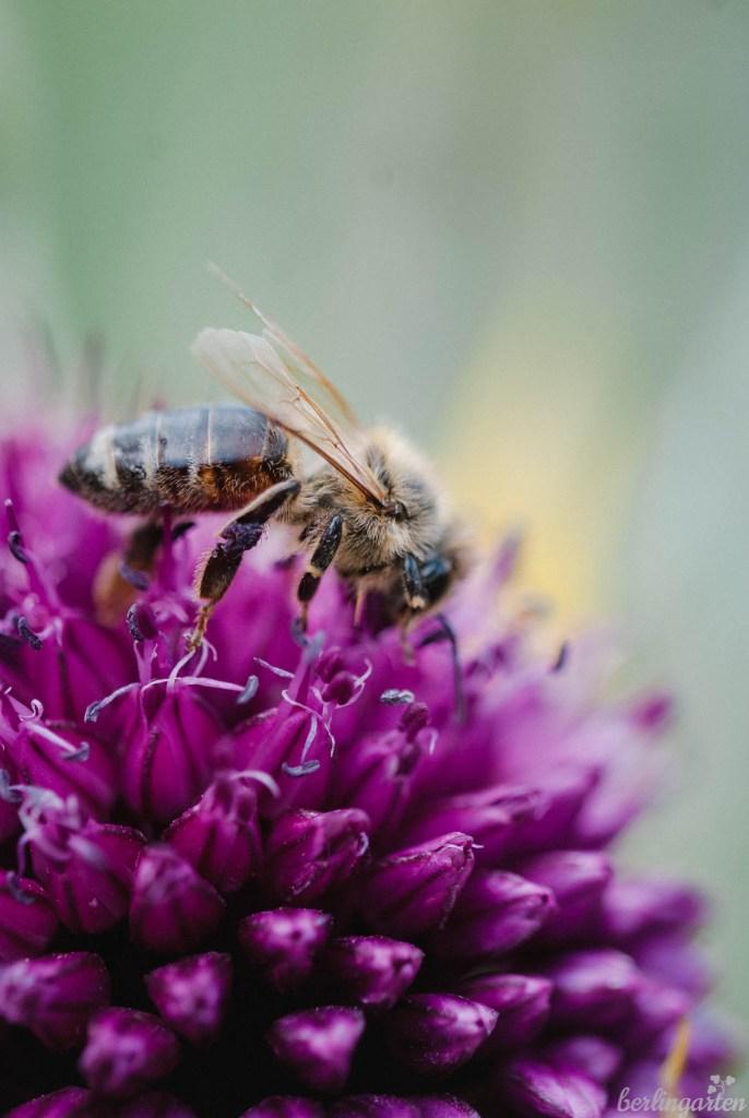 Bienen Kugelköpfiger Lauch Allium sphaerocephalon