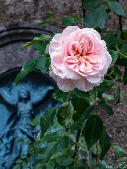 Rose Friedhof Fraueninsel