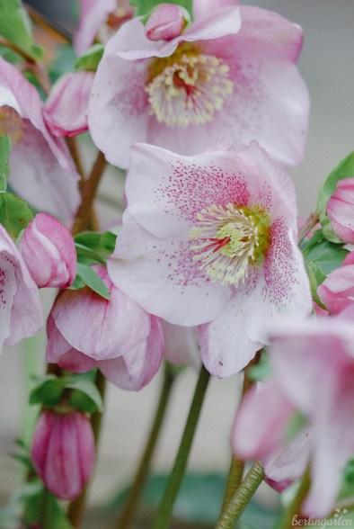 Lenzrose 'Pretty Ellen Pink'