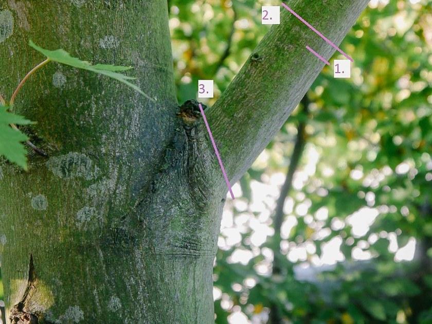 Für die richtige Schnitttechnik beim Baumschnitt werden drei Schnitte gesetzt