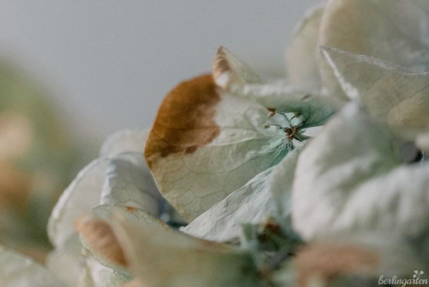 Getrocknete Hortensienblüten