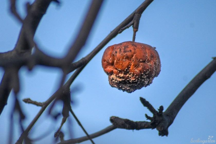Fruchtmumie Monilia