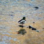 mallard duck standing on rock in water