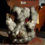 photo of cotton boll on exhibit