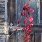 virginia creeper on weathered door