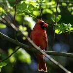 american cardinal on branch