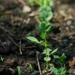 row of pea plants