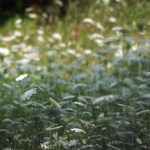 photo of a field of queen anne's lace