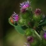 honeybee on burdock plant