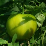 green tomato and green leaves