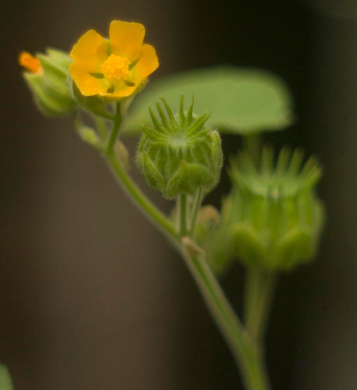 indian mallow in bloom