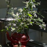 asters in red teapot