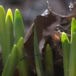 daffodils pushing through leaves