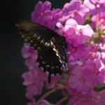 Tiger Swallowtail on Phlox