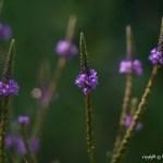 Evening Purple Dance