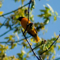 The Oriole's Return