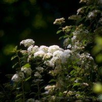 Poem for Saturday: Bridal Wreath