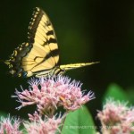 An eastern tiger swallowtail on joe-pye weed.