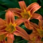 Three Daylilies