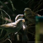 Mother house sparrow feeding her two babies.