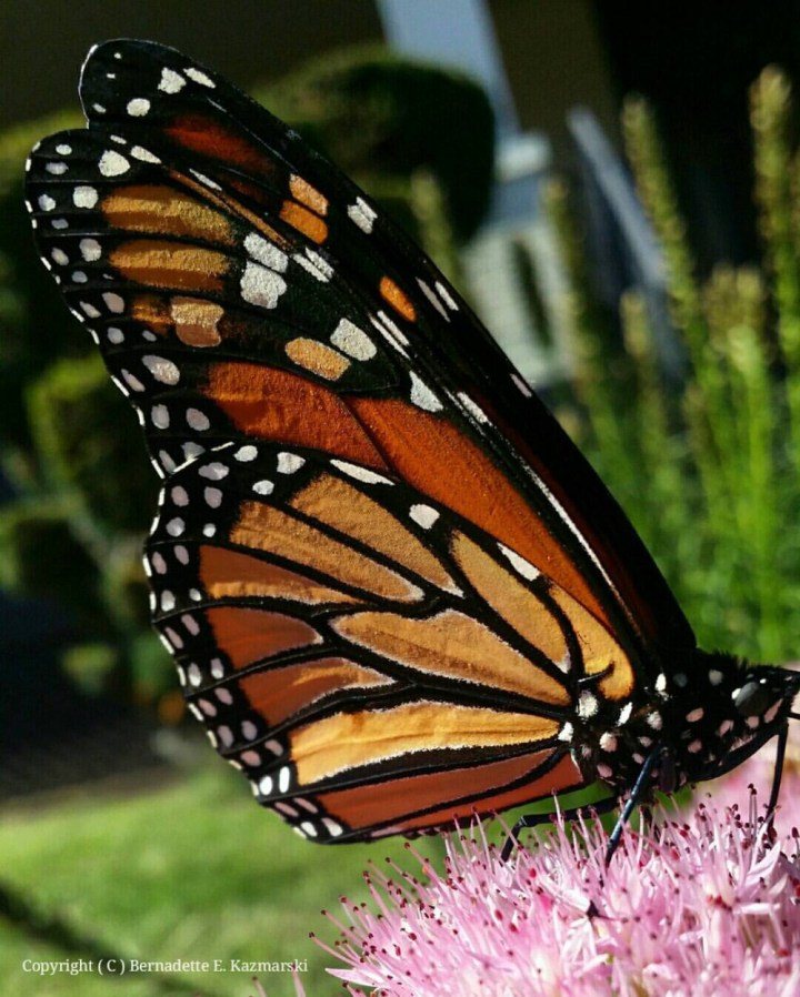 Monarch Wing