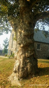 Love that sycamore too, gnarled and lumpy trunk and all.