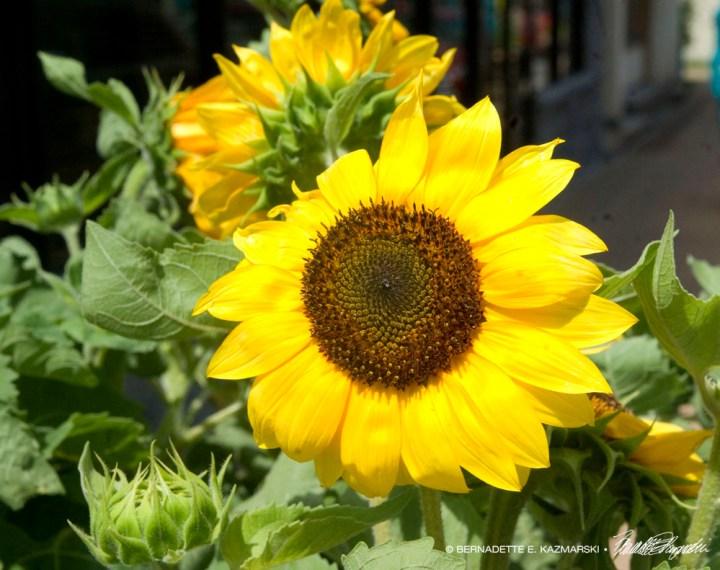 Welcome Sunflowers