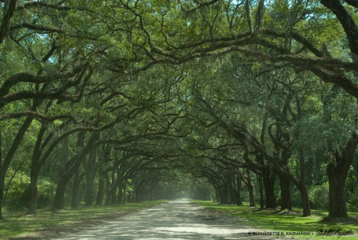 A slightly dusty view of the road at Wormsloe.