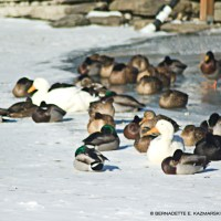 Hardy Ducks