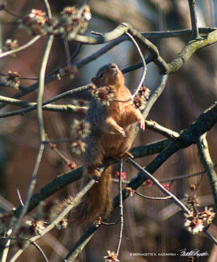 Squirrel dancing in the tree.