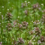 A chorus of dead nettle and chickweed.