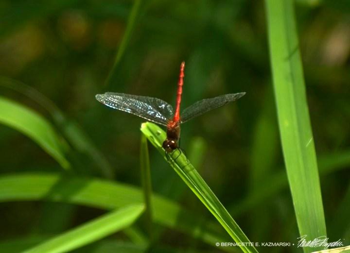 Red-veined Darter