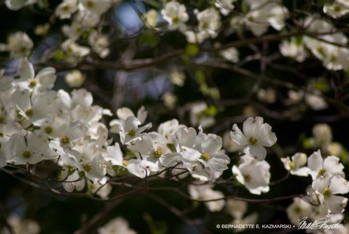 Dogwood flowers.