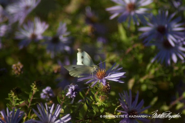 Cabbage White and Asters